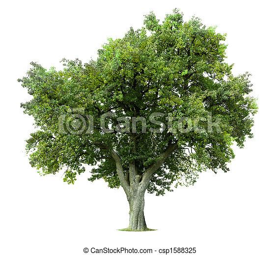 árvore, isolado, maçã - csp1588325