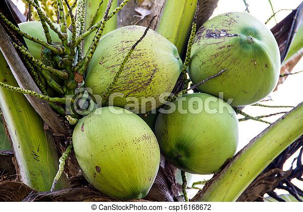 coco verde, árvore - csp16168672
