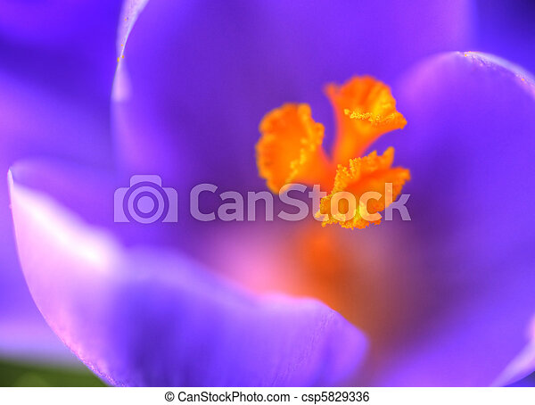 fim, primavera, macro, cima, açafrão - csp5829336