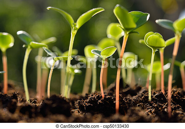 luz, manhã, verde, solo, crescendo, brotos, saída - csp50133430