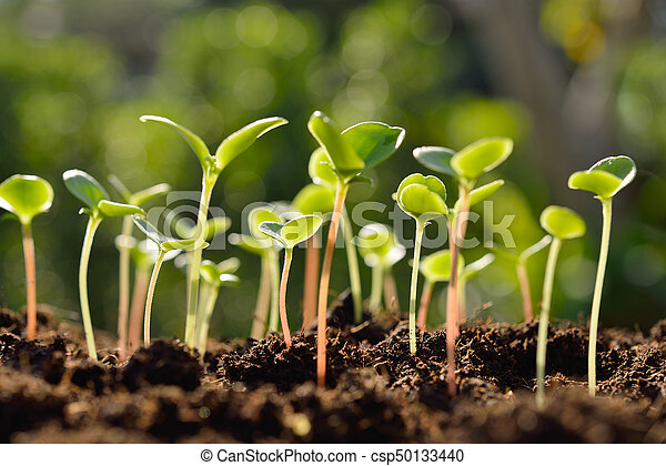 luz, manhã, verde, solo, crescendo, brotos, saída - csp50133440