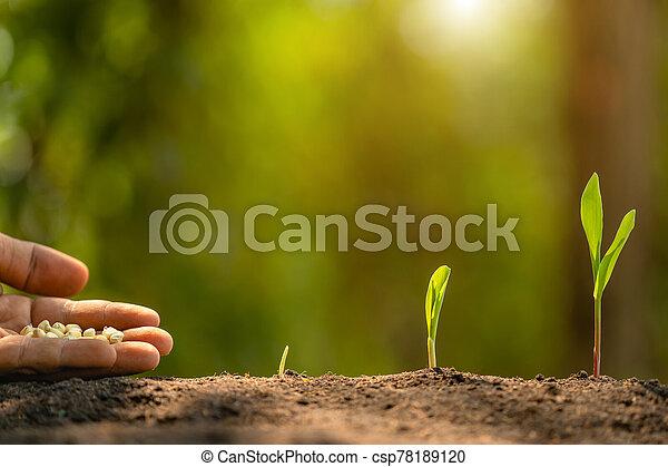 mão, árvore, agricultura, plantar, fazendeiro, soil., sementes, crescendo, milho, meio ambiente, conceito, ou - csp78189120