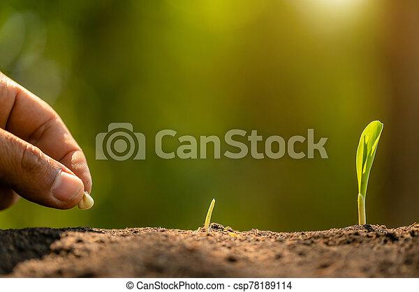 mão, árvore, agricultura, plantar, fazendeiro, soil., sementes, crescendo, milho, meio ambiente, conceito, ou - csp78189114