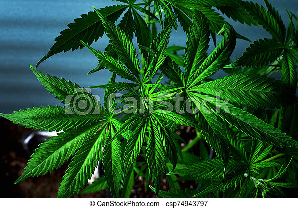marijuana, cannabis, fresco, verde, leaves., bonito, planta - csp74943797
