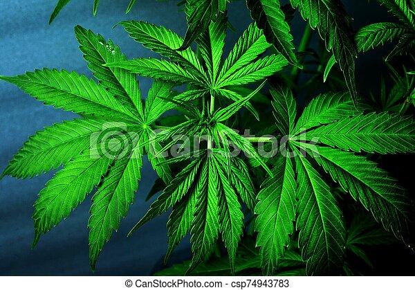 marijuana, cannabis, fresco, verde, leaves., bonito, planta - csp74943783