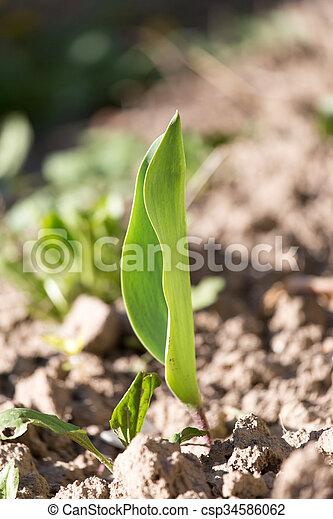 pequeno, broto, plantas, solo - csp34586062