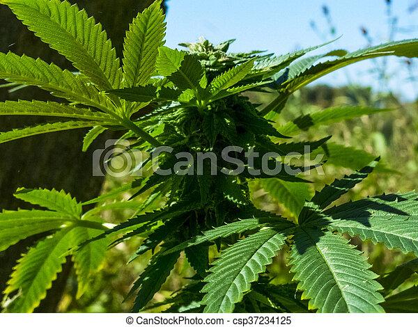 planta, closeup, marijuana - csp37234125
