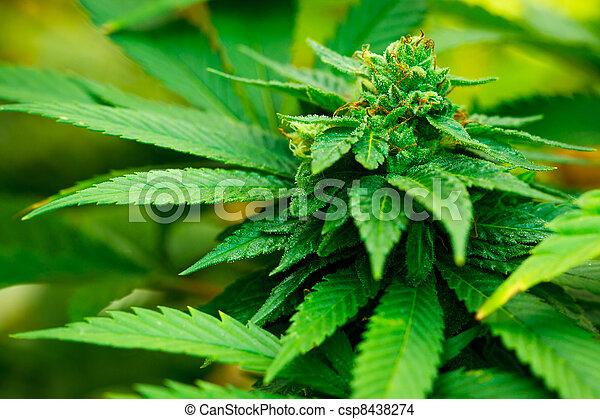 planta, marijuana - csp8438274