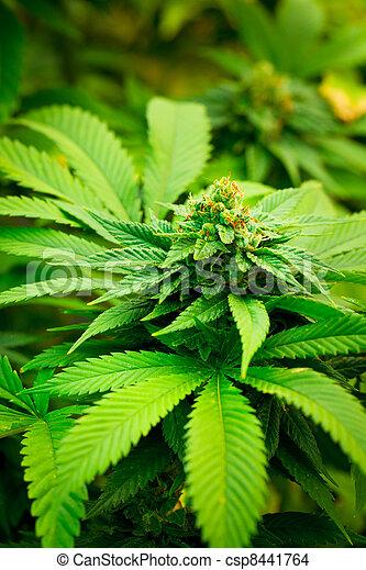 planta, marijuana - csp8441764