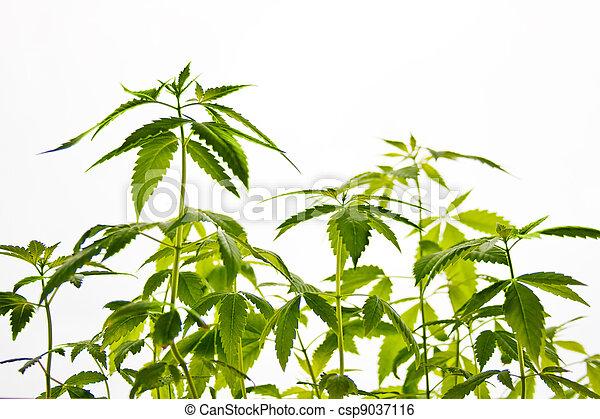planta, marijuana - csp9037116