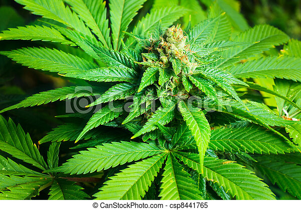 planta, marijuana - csp8441765