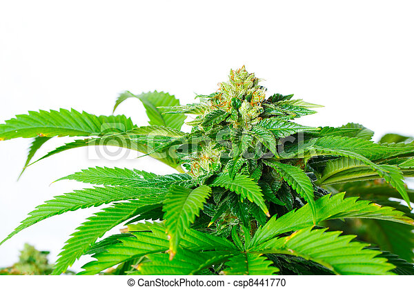 planta marijuana - csp8441770