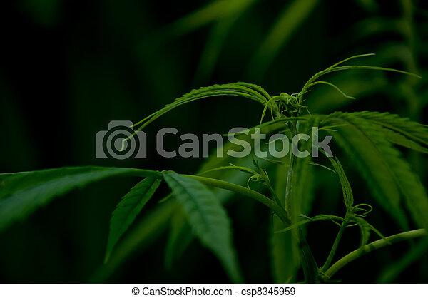 planta, marijuana - csp8345959