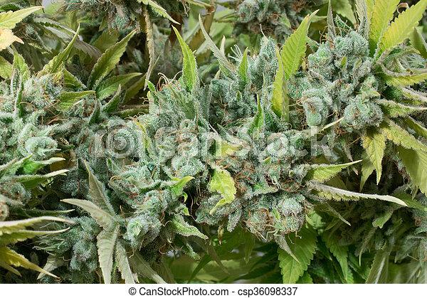 planta, marijuana, macro, cannabis, closeup, broto - csp36098337
