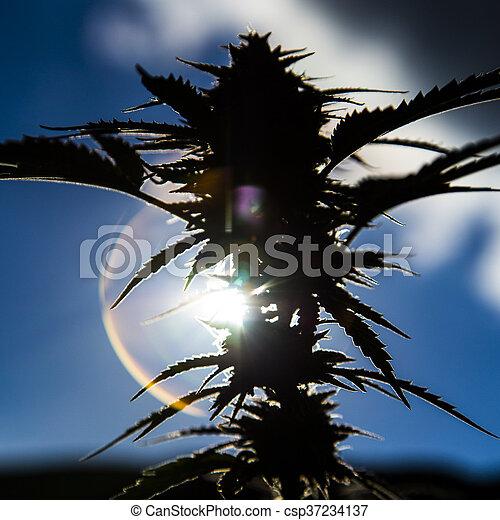 planta medicinal, closeup, marijuana - csp37234137