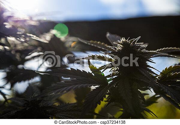 planta medicinal, closeup, marijuana - csp37234138