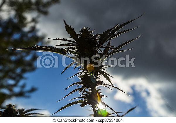 planta medicinal, closeup, marijuana - csp37234064