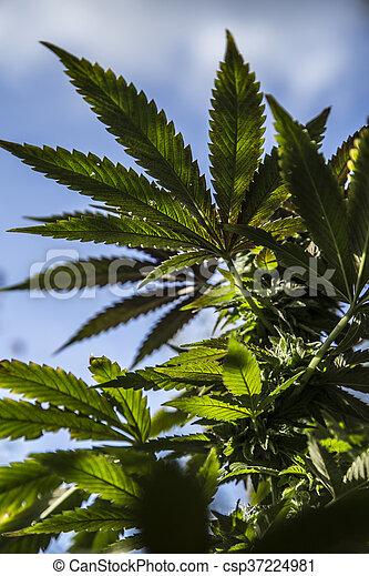 planta medicinal, closeup, marijuana - csp37224981