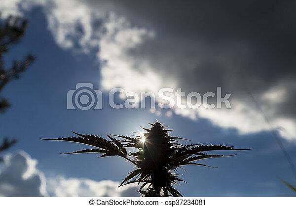 planta medicinal, closeup, marijuana - csp37234081