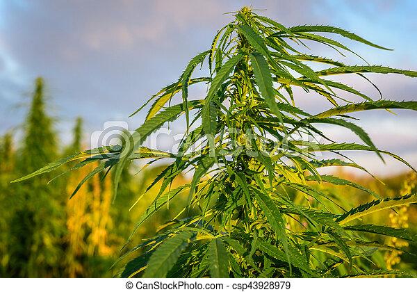 planta medicinal, marijuana - csp43928979