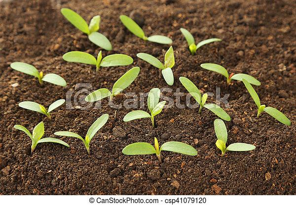plantas, solo, verde, jovem - csp41079120