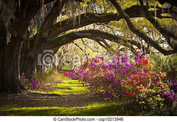 primavera, espanhol, carvalho, árvores, plantação, viver, azaléia, musgo, florescer, sc, charleston, flores, flores - csp10213946