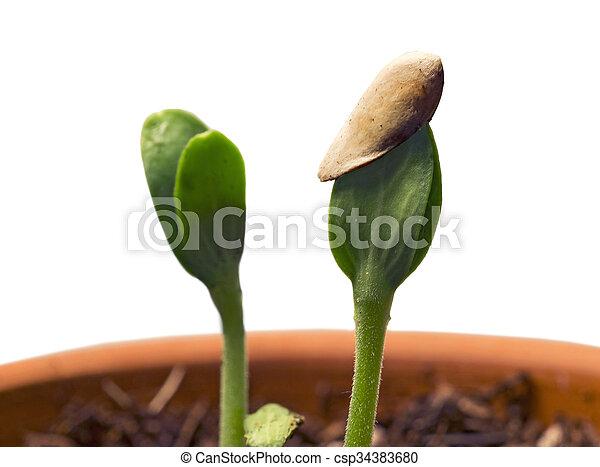 seedling, plantas, solo - csp34383680