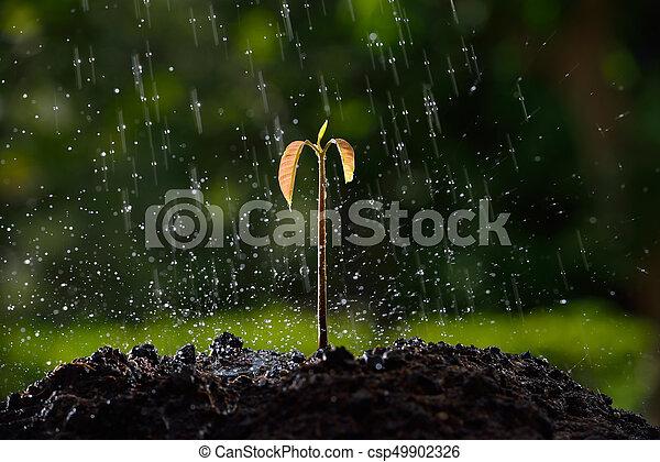 (soil), árvore, chuva, manga, verde, brotos - csp49902326